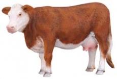 Vaca rasa Hereford